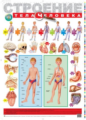 Плакат Строение тела человека -
