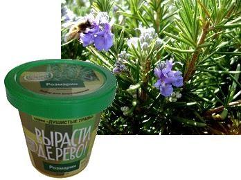 Набор для выращивания Вырасти Дерево Розмарин - Розмарин — это многолетний, вечнозеленый кустарник, обладающий необычным внешним видом. Он часто используется в кулинарии, так как благодаря своему пикантному аромату и терпкому вкусу прекрасно сочетается практически с любыми ингредиентами. Кроме того, эф