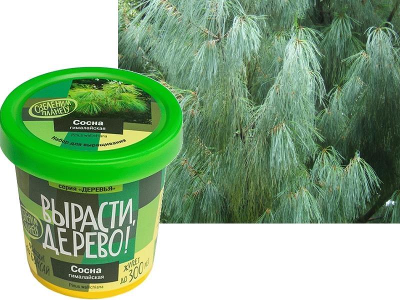 Набор для выращивания Вырасти Дерево Сосна гималайская - Сосна гималайская или Валлиха одна из красивейших пород хвойных деревьев! Это роскошное быстрорастущее дерево достигает высоты 50 м.