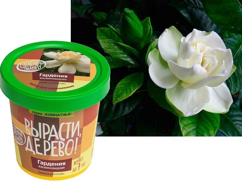 Набор для выращивания Вырасти Дерево Гардения - Гардения (Gardenia) относится к семейства Мареновые (Rubiaceae). Гардении имеют плотные кожистые блестящие зеленые листья, форма которых – удлиненно-яйцевидная, немного округлая, с характерным рисунком вдоль жилок. Цветки ее одиночные, махровые, диаметро