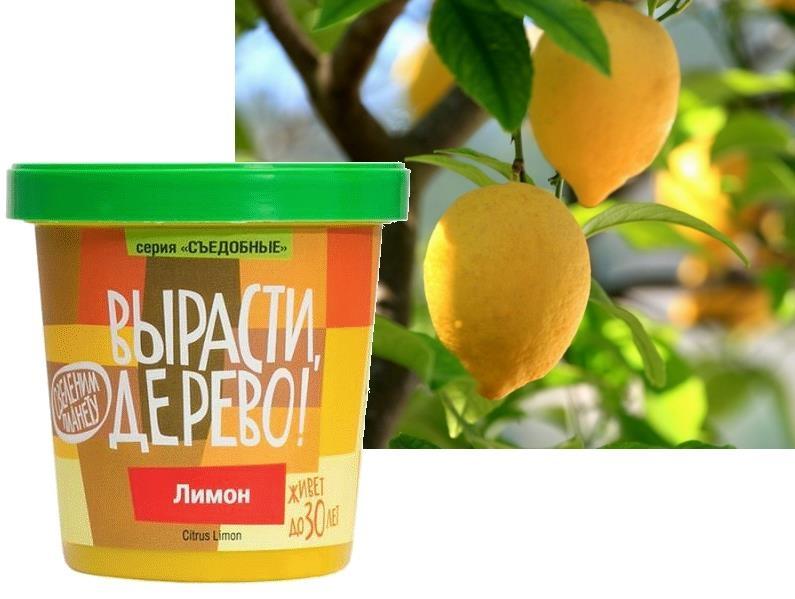 Набор для выращивания Вырасти Дерево Лимон - Лимон (Citrus Limon). Семейство – Рутовые. Лимон - небольшое вечнозелёное плодовое дерево. Родина - Индия, где он рос в диком виде в горных местностях, у подножия Гималаев. Листья кожистые, зелёные, длиной 10-15 см. Цветки одиночные или парные. Лепестки